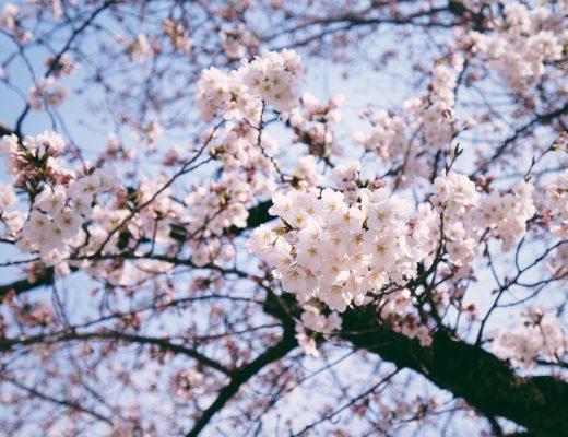 kinh nghiệm du lịch nhật sakura